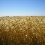 Amber waves of grain, a sign of hope in times of trouble